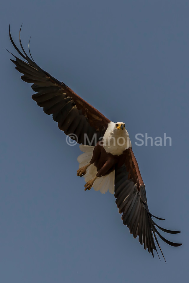 African Fish Eagle hovering over Lake Baringo