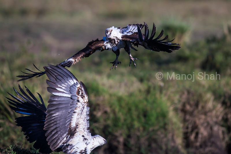 African Fish eagles in a mid air fight in Masai Mara