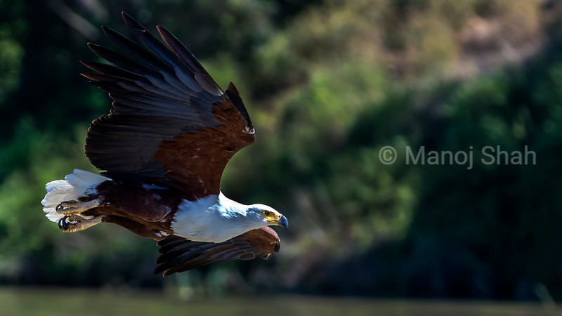 Arrican Fish Eagle in flight over Lake Baringo.