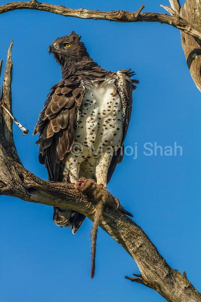Martial Eagle with a kill on a tree in Masai Mara.