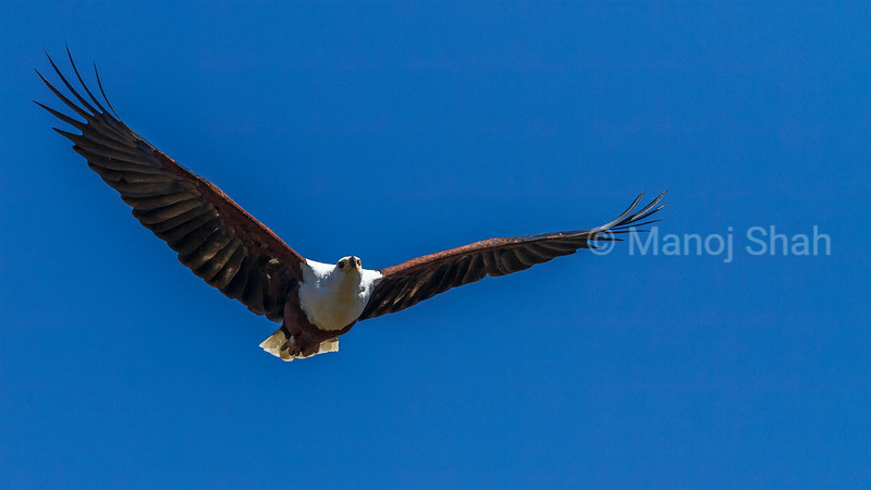 African Fish Eagle in flight in Masai Mara.