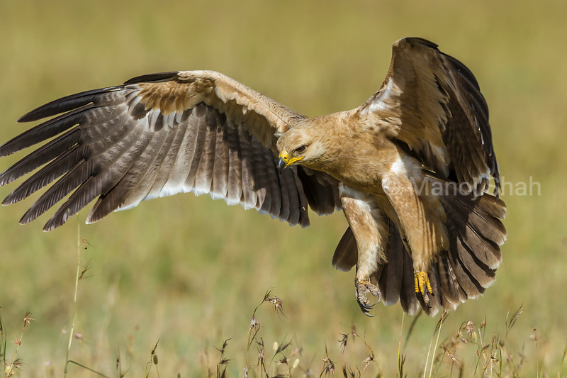 Tawny Eagle landing from a flight in Masai Mara.