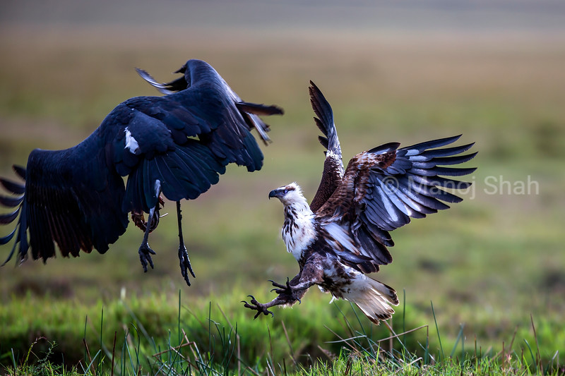 African Fish eagle vary of Marabou storks in Masai Mara as it tries to grab the cat fish