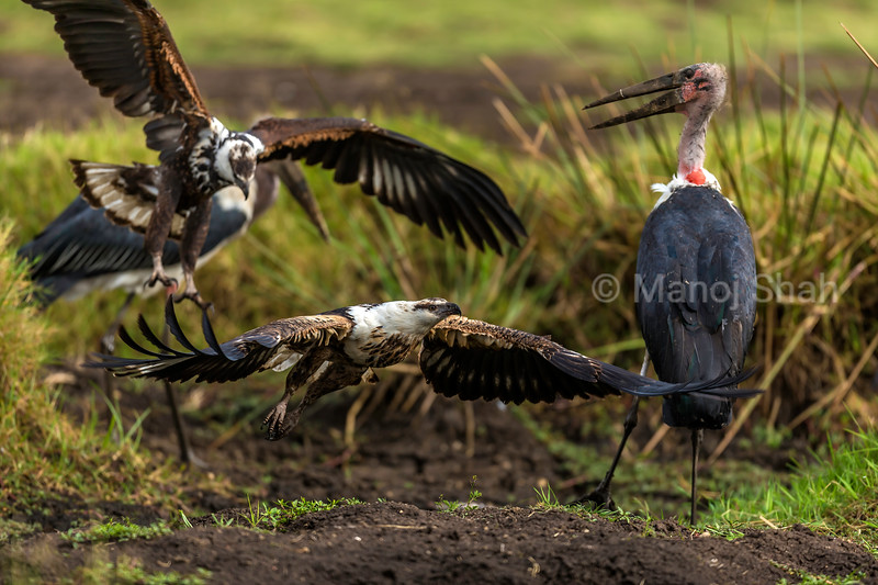 African Fish Eagle Challenges another Fish Eagle and  Marabou storks over a catfish catch in Masai Mara.