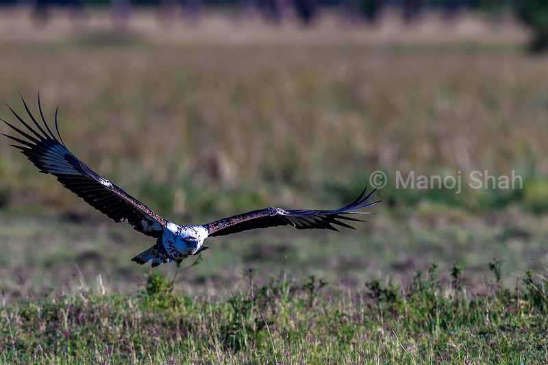 African Fish Eagle in flight in Masai Mara,