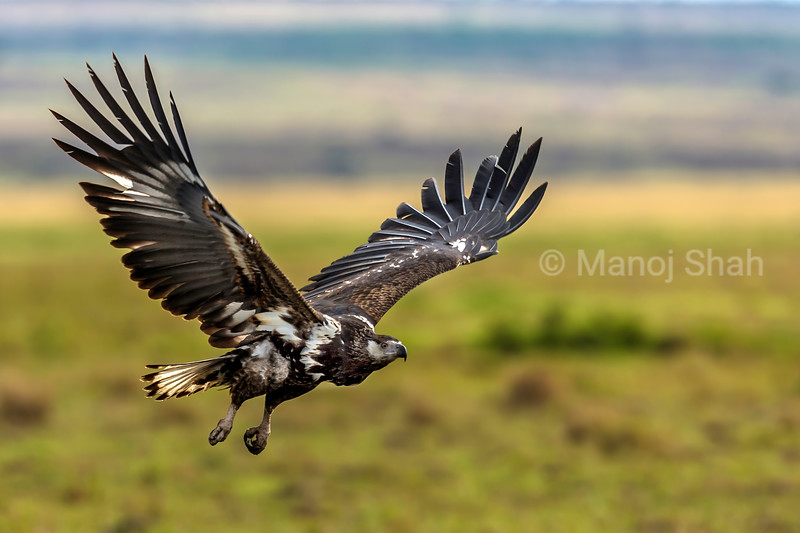 African Fish Eagle in a flight over Masai Mara.