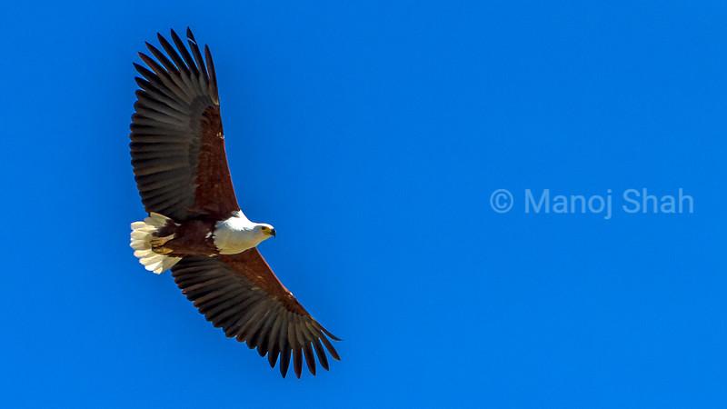 Arrican Fish Eagle in a fishing flight over Lake Baringo.