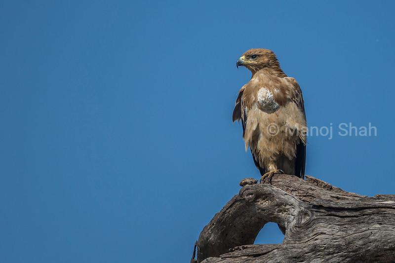 Tawny eagle scanning Mara savanna from a tree in Masai Mara.