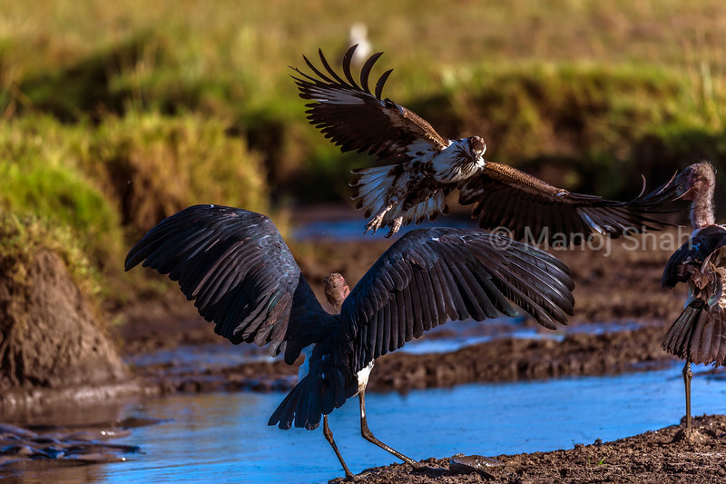 The African Fish Eagle starts to fly down to the cat fish. The marabou stork opens up his wings to defend.