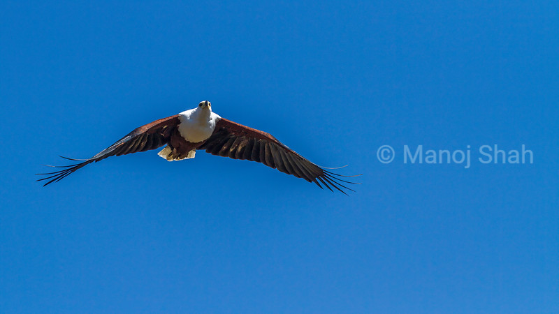 African Fish Eagle in flight in Masai Mara.