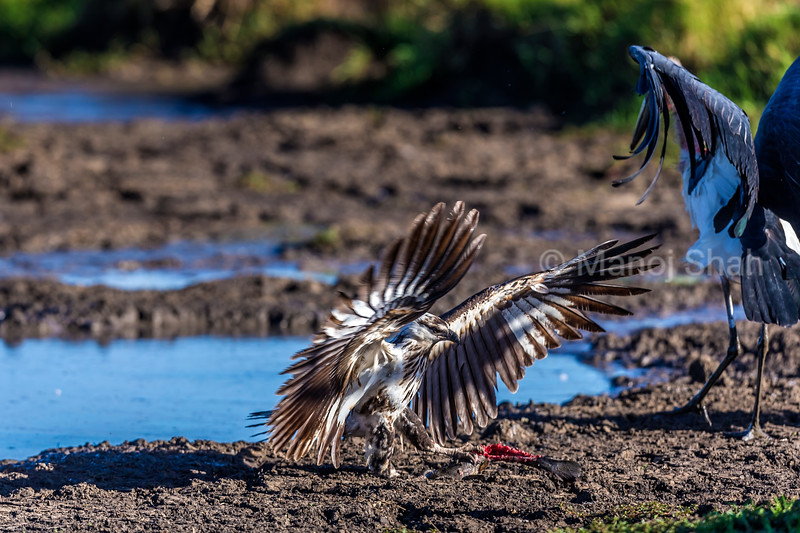 The African Fish Eagle has grabbed the cat fish by the talons and the Marabou stork backs away.