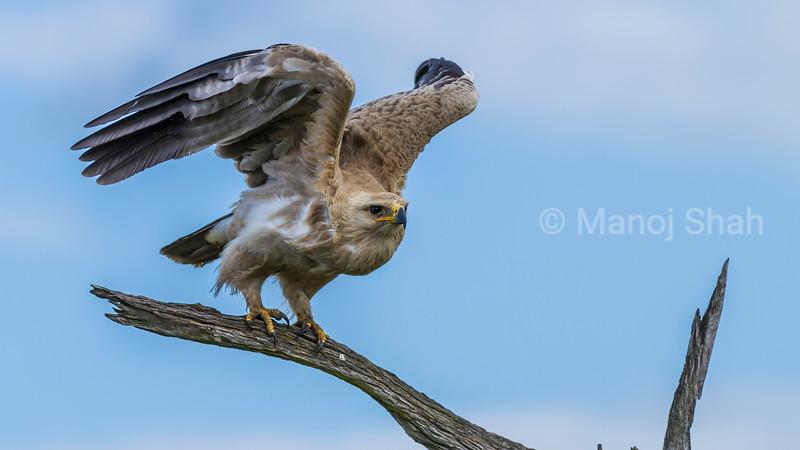 African Fish Eagle takes off in Masai Mara.