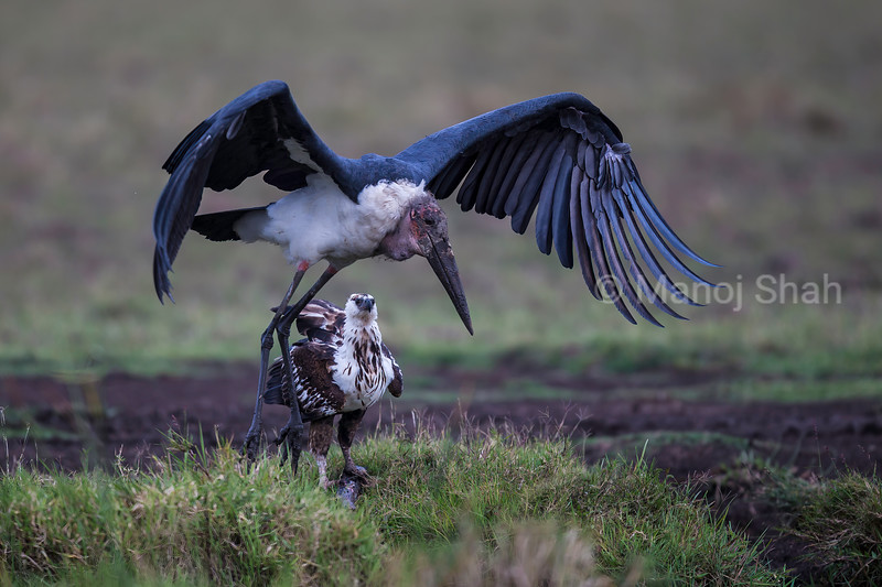 African Fish Eagle watches a Marabou stork take off in Masai Mara.