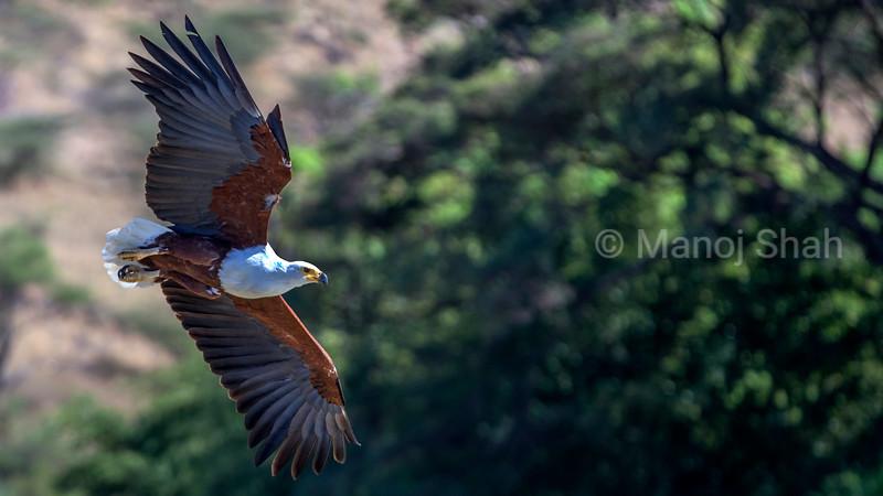 Arrican Fish Eagle in flight over Lake Baringo.