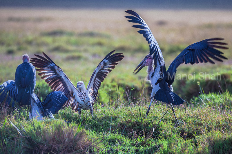 Marabou stork facing African Fish Eagle in Masai Mara, Kenya