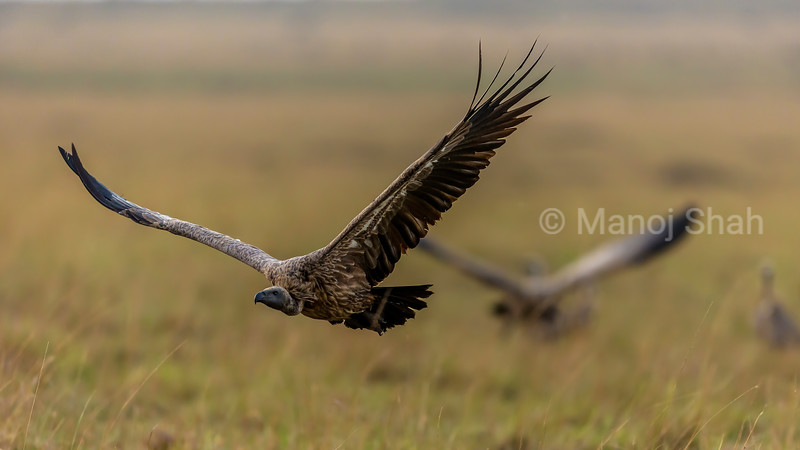 White- backed vulture in a flight in Masai Mara.