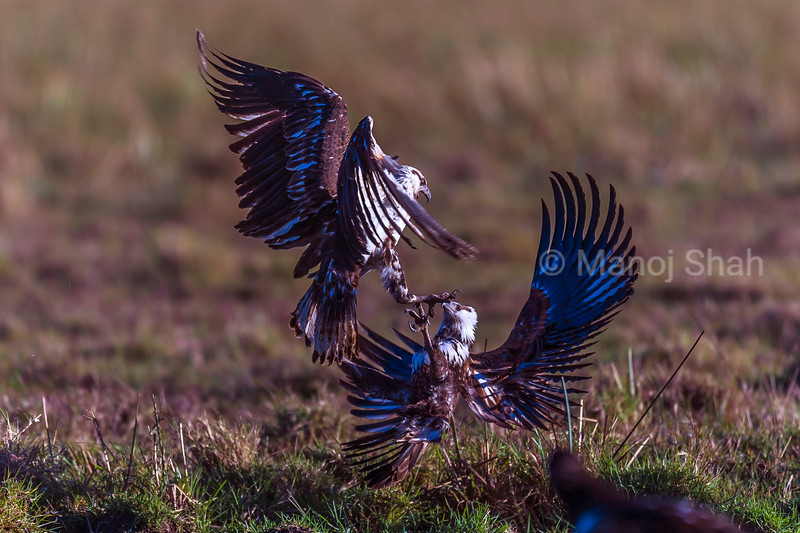 African Fish Eagles in a scuffle for fish.