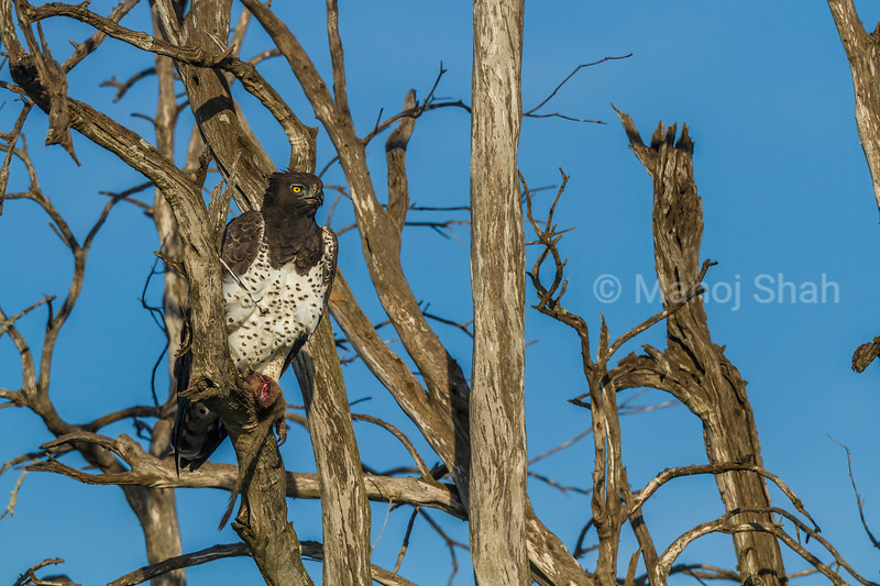 Martial Eagle in Masai Mara.