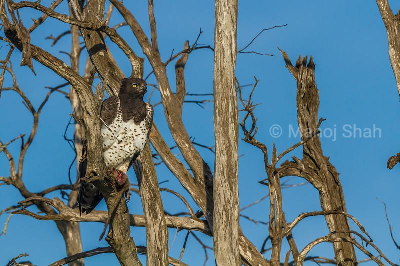 Martial Eagle in Masai Mara.