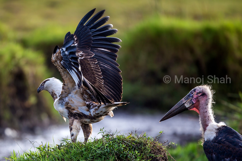 African Fish eagle vary of Marabou storks in Masai Mara
