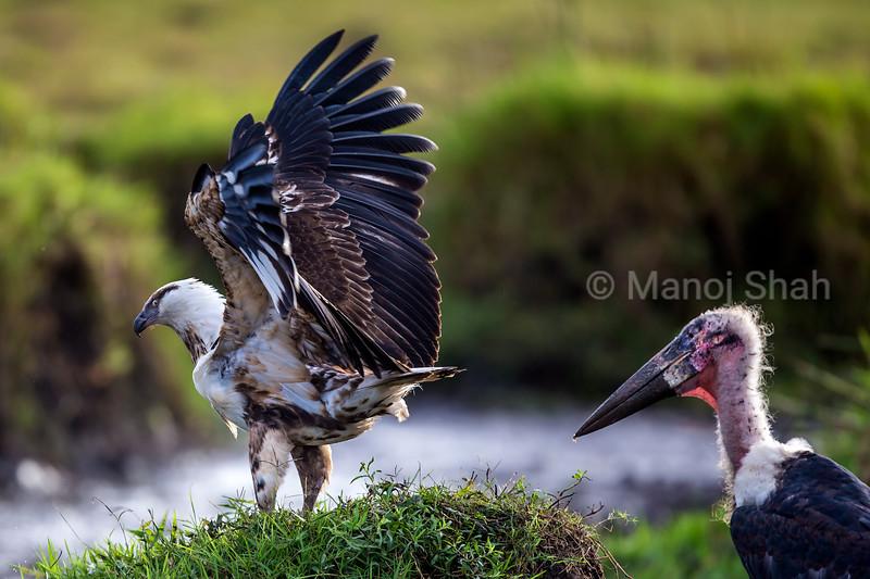 African Fish eagle vary of Marabou storks in Masai Mara
