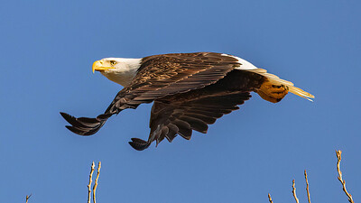 Eagle Fee & Brave