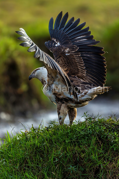 African Fish Eagle spreads its wings to confront marabou storks in Masai Mara.