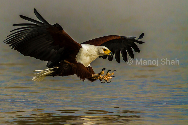 African Fish Eagle ready to cath fish in Lake Bogoria waters
