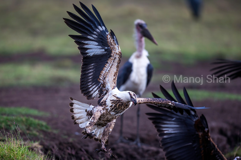 African FIsh Eagle  land to grab a catfish in Masai Mara