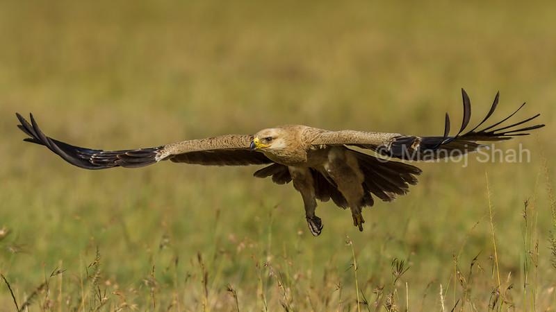 Tawny Eagle landing from a flight in Masai Mara.