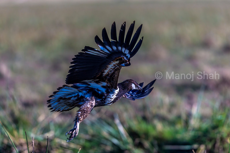 African Fish Eagle flies to grab the cat fish cught by a Marabou stork in Masai Mara.