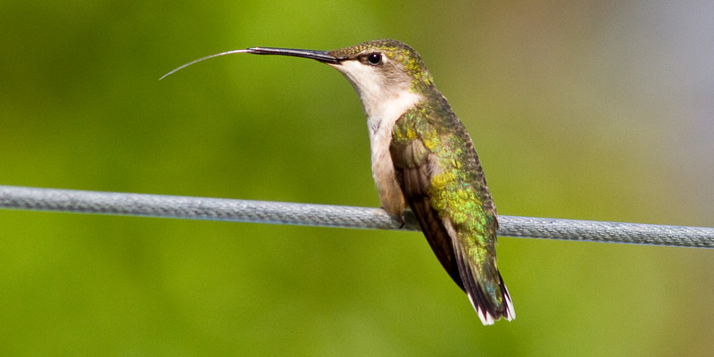 Female hummingbird showing off her long tongue