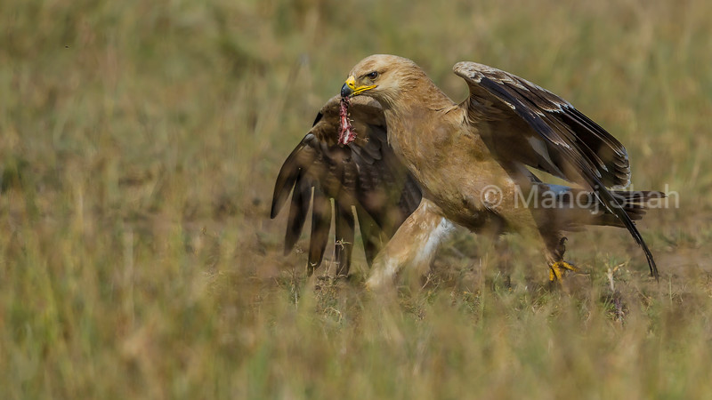 Tawny eagle with a piece of meat in its beak in Masai Mara.