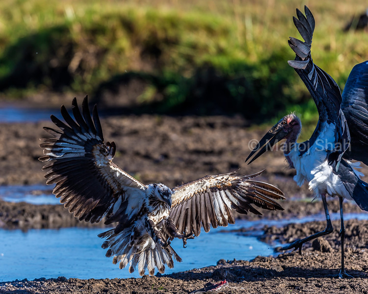 Two Marabous storks in defensive position as an African fish eagle flies in to grab the cat fish at the stork's feet. The talons of the fish Eagle are ready to pick up the cat fish