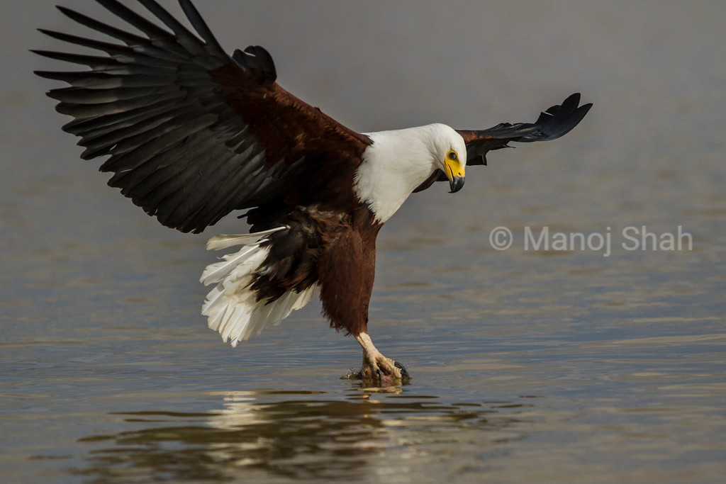 African Fish Eagle catching fish in Lake Bogoria waters.