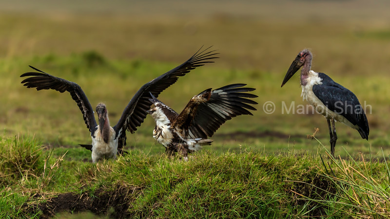 African Fish Eagle Challenges Marabou storks over a catfish catch in Masai Mara