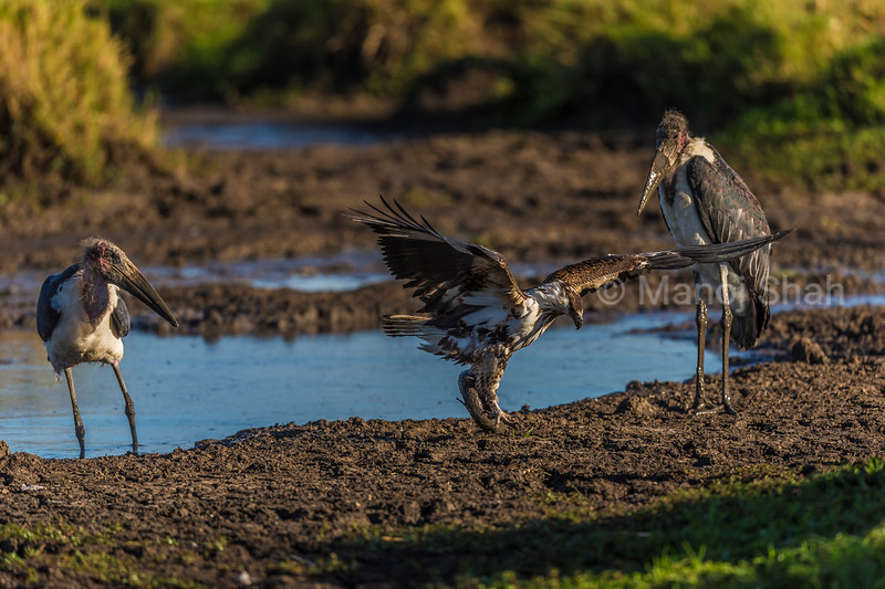 After scaring away the Marabou stork, the African Fish Eagle now lifts the cat fish with its claws and flies off.