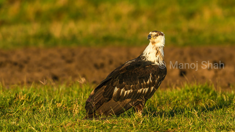 Premature African Fish Eagle on ground in Masai Mara.