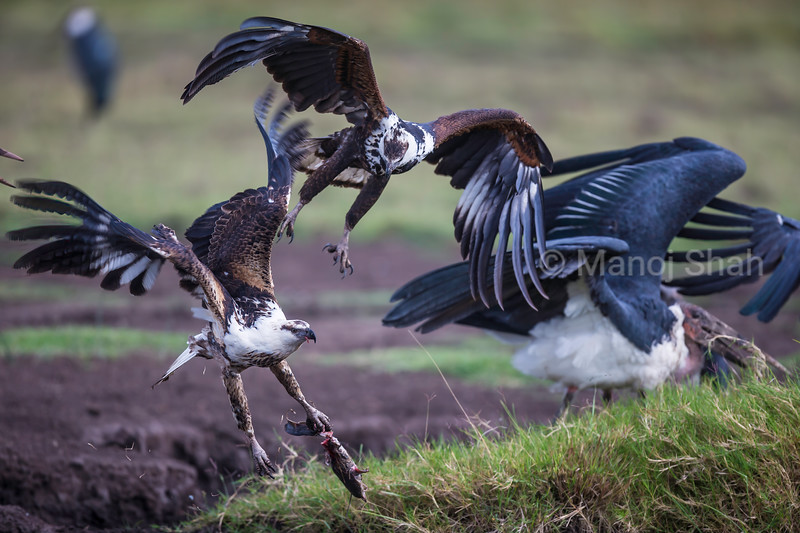 African FIsh Eagle  flies away with a catfish in Masai Mara