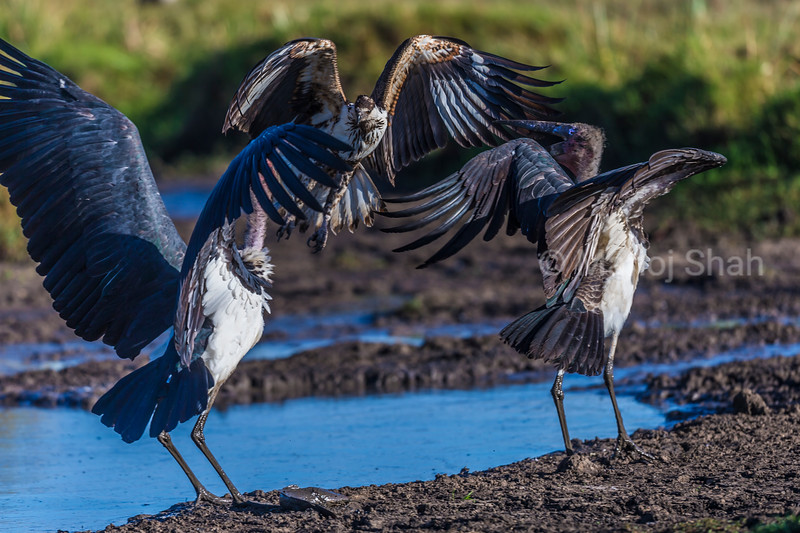 Two Marabous storks in defensive position as an African fish eagle flies in to grab the cat fish at the stork's feet.