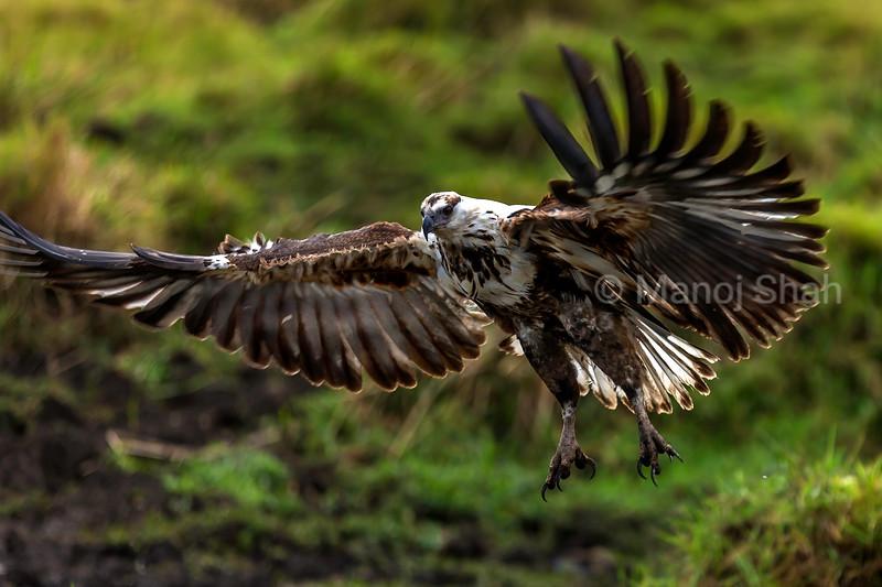 African Fish Eagle in a flight in Masai Mara.