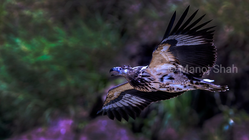 Immature african fish eagle in flight over lake Baringo.