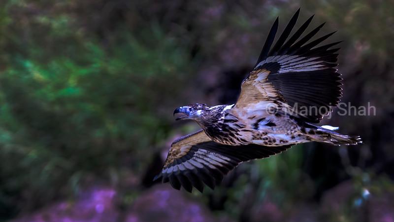 Immature african fish eagle in flight over lake Baringo.