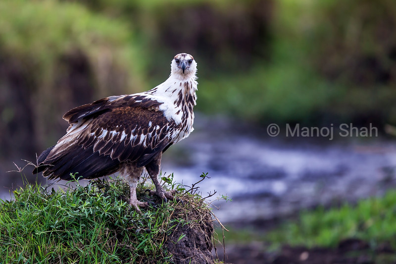 African Fish Eagle resting on an anthill in Masai Mara,