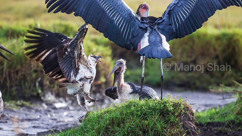 African Fish Eagle faces two Marabou storks in Masai Mara.