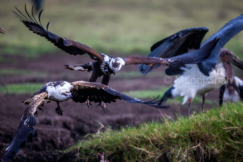 African FIsh Eagle  is chased off by another in Masai Mara.