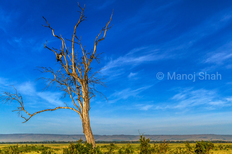 Landscape showing a Martial eagle on a leafless tree in Masai Mara.