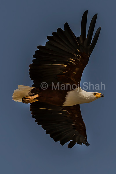 African Fish Eagle hovering over Lake Baringo, Great Rift Valley, Kenya