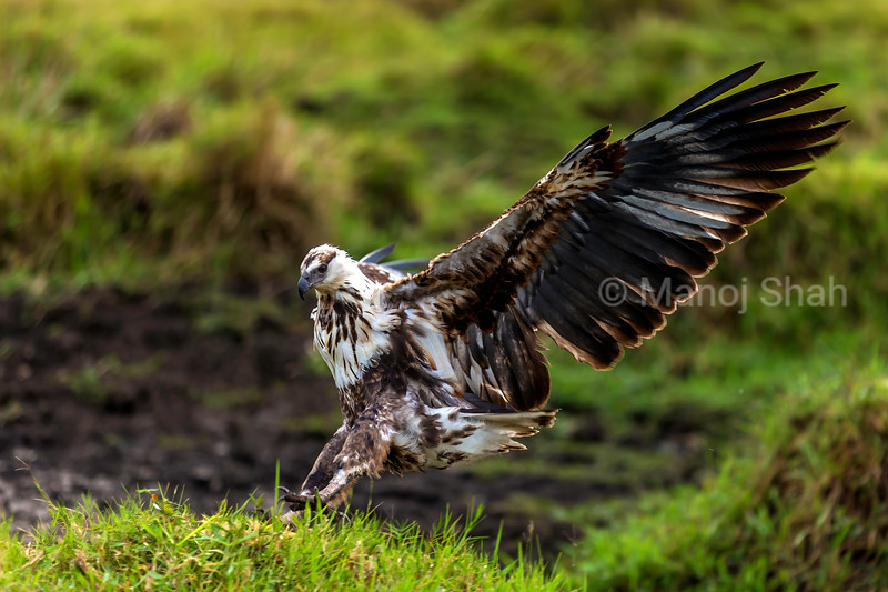 African Fish Eagl elanding from a flight in Masai Mara.