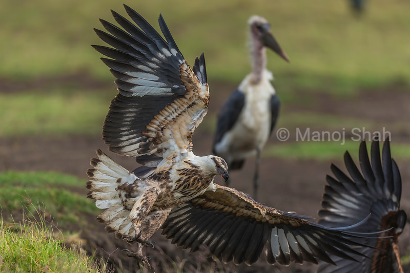 African Fish Eagle landing from a flight in Masai Mara.